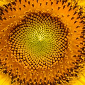 Medulla of a sunflower
